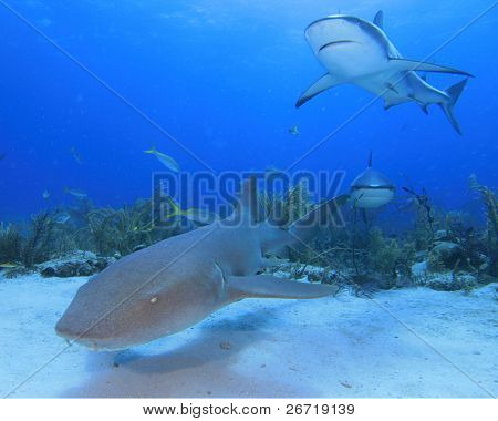 Nurse Shark and Reef Sharks