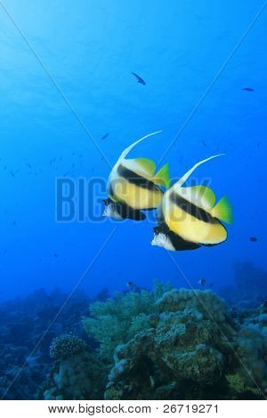 A pair of Red Sea Bannerfish