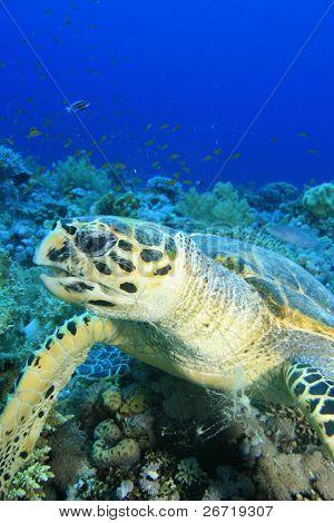 Meer Echte Karettschildkröte kauen auf Weiche Koralle
