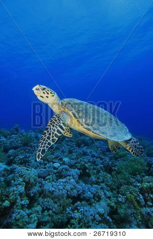 Hawksbill Sea Turtle swimming over a pristine coral reef