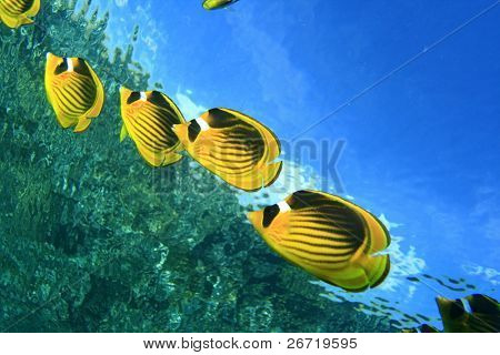 Raccoon Butterfly fishes with water surface in background