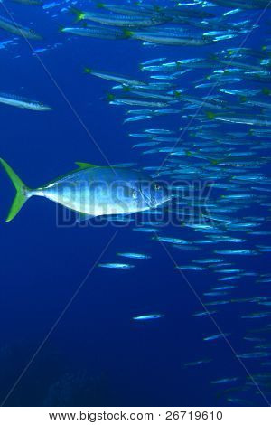Trevally hunting Yellowtail Barracudas