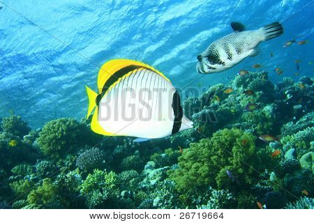 Lined Butterflyfish and Whitespotted Pufferfish
