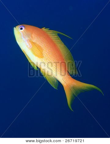 Jewell Fairy Basslet on a blue water background