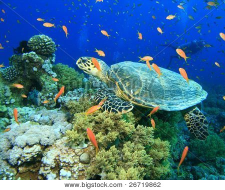 Turtle in cloud of Fairy Basslets with Scuba Diver in Background