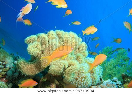 Fairy Basslets and Soft Corals