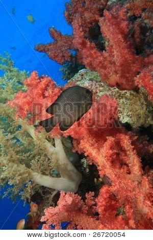 Damselfish in Red Soft Corals