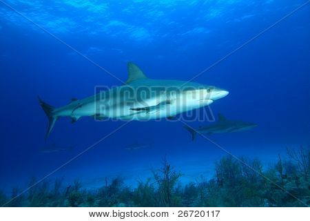 Sharks in Blue Water