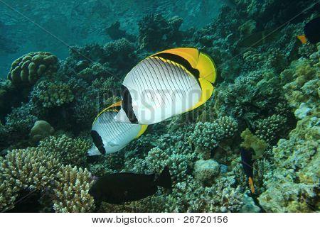 Liniertes Falterfisch (Chaetodon Lineolatus)