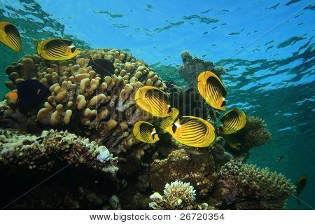Raccoon Butterflyfishes (Chaetodon fasciatus)