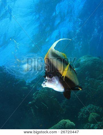 Red Sea Bannerfish (Heniochus intermedius) eating a jellyfish
