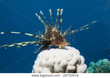 Lionfish (Pterois miles) and hard coral