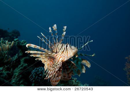 Lionfish (Pterois miles) on coral reef