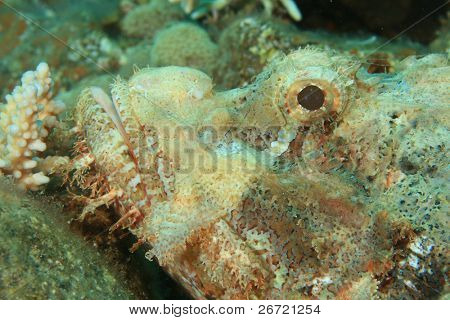 Smallscale Scorpionfish (Scorpaenopsis oxycephala)