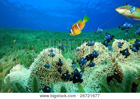 Anémona de Haddon y juvenil Threespot Dascyllus (Dascyllus trimaculatus), anémona y pez