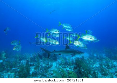 Shoal of Bigeye Jacks and Shark
