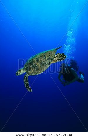 Diver encounters Hawksbill Turtle