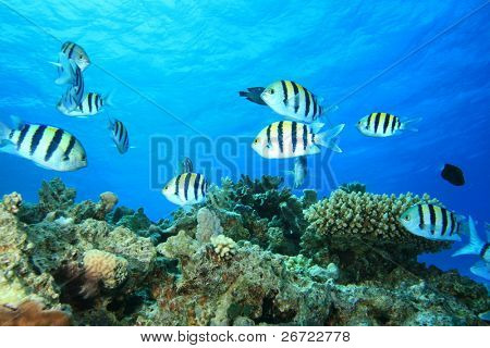 Environmental issue: A shoal of Scissortail Sergeants swims over dead coral killed by global warming