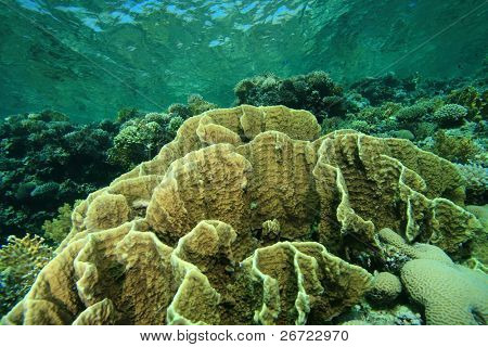 Shallow coral reef with Plate Fire Corals