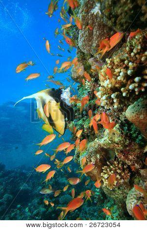 Red Sea Bannerfish (Heniochus intermedius) amongst Lyretail Anthias (Pseudanthias squamipinnis)