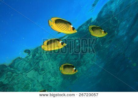 Raccoon Butterflyfishes (Chaetodon fasciatus)