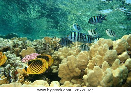 Red Sea Raccoon Butterflyfish (Chaetodon fasciatus)  and Scissortail Sergeants (Abudefduf sexfasciatus)