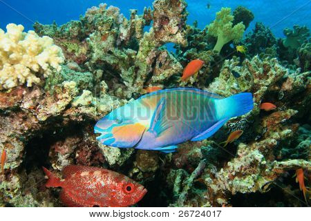 Bullethead Parrotfish (Chlorurus sordidus)