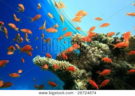 Lyretail anthias on coral reef