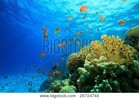 Coral Reef in the Red Sea with Lyretail Anthias