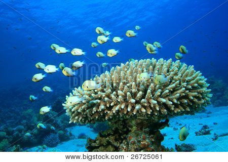 Fish and Coral: Red Sea Dascyllus and Acropora coral