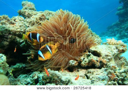 Anemone and Red Sea Anemonefishes