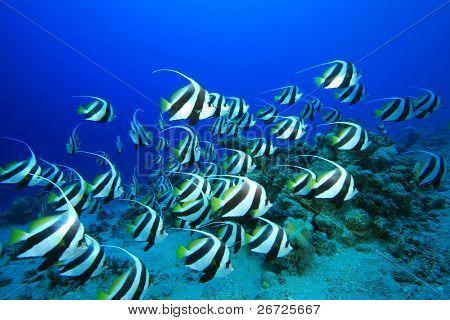 Shoal of Schooling Bannerfish (Heniochus diphreutes)