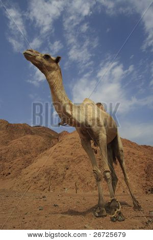 Camel (Dromedary) in the Sinai Desert beside the Red Sea in Egypt