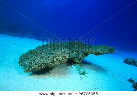 Environmental Problem - a dead Acropora Table Coral killed by rising sea temperatures and pollution