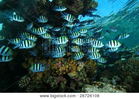 School of Sergeant Major Fish on a coral reef in the Red Sea, Egypt