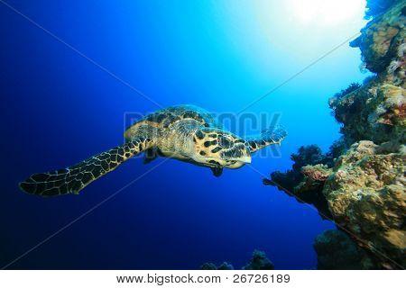 Underwater image of Hawksbill Sea Turtle Swimming towards the camera