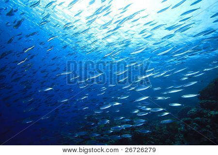 School of Mackerel Fish on coral reef
