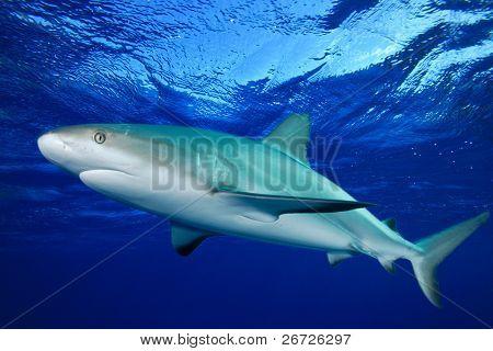 Tiburón gris (Carcharhinus amblyrhynchos)