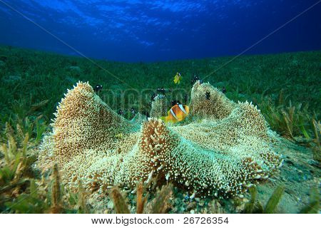 Haddon's Anemone with Anemonefish and Damselfish
