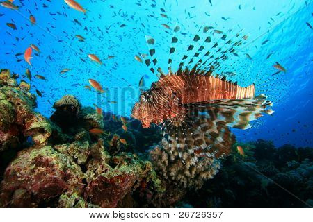 Common Lionfish (Pterois miles) on a coral reef