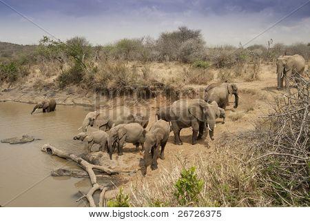 Manada de elefantes africanos beber em um poço