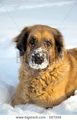 Großer Hund im Schnee spielen