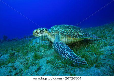 Green Sea Turtle (Chelonia mydas) feeding on seagrass
