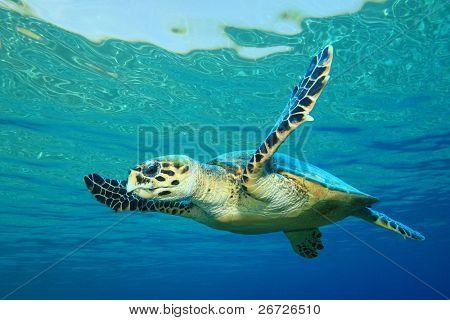Hawksbill Sea Turtle in clear blue water