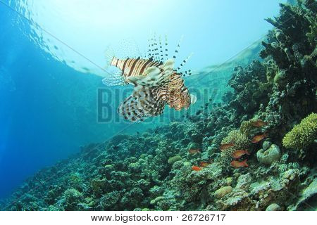 Lionfish (Pterois volitans) on coral reef