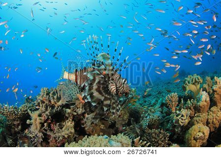 Lionfish (Pterois volitans) and other tropical fish on a coral reef