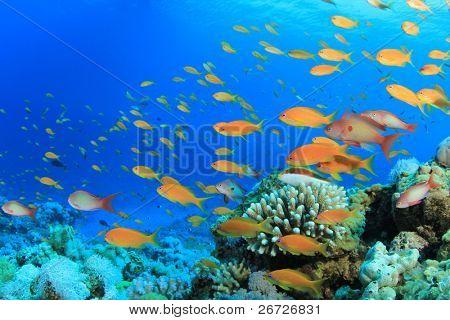 Lyretail Anthias Fish on Coral Reef