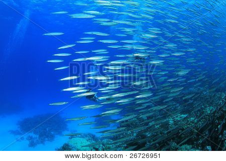 Large School of Yellowtail Barracuda Fish. Scuba Divers in the Background