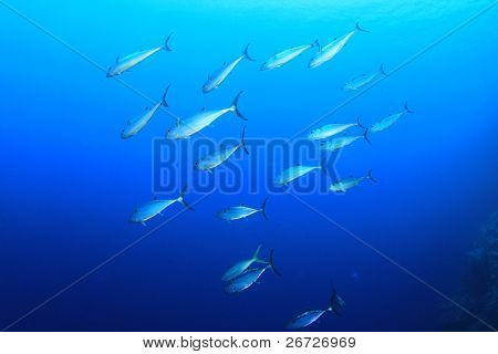 School of wild Tuna fish in blue sea