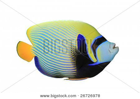 Tropical Fish: Emperor Angelfish (Pomacanthus imperator) isolated on white background